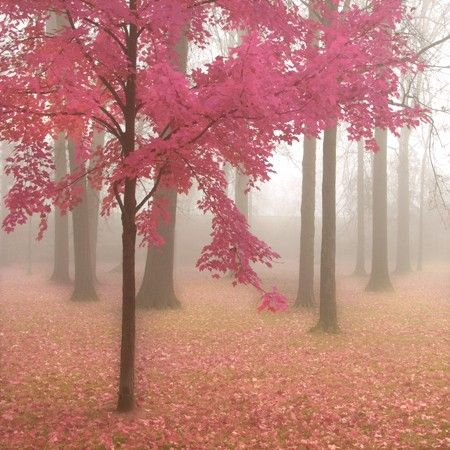 pink leaves!Enchanted Forests, Pink Trees, Autumn, Art Prints, Foggy Forest, Colors Palettes, Places, Misty Mornings, Vintage Rose