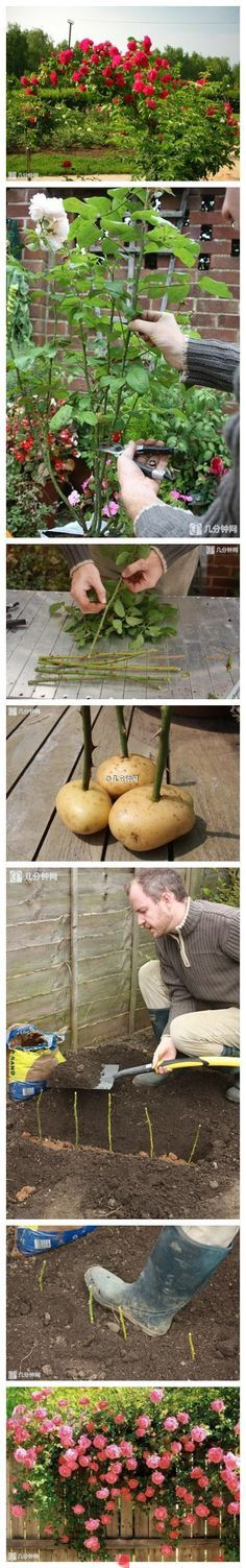 استخدم البطاطا في زراعة الورد - Growing Rose From Cutting