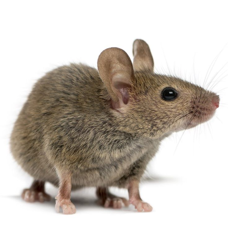 Trying to use mothballs as a do-it-yourself mouse repellent could have deleterious consequences for dogs and cats.