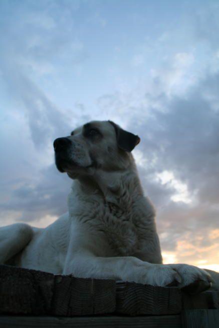 """Lost Armadillo Ranch Anatolian Shepherd dogs"" www.citlink.net/~lostarmadillo"