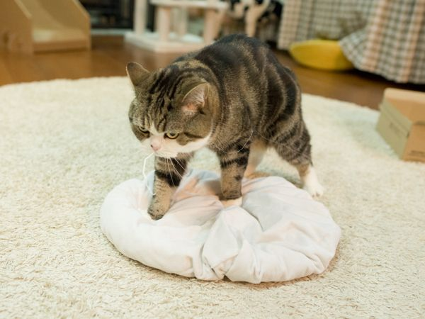 Maru:[I'm busy. I knead this every night mostly.] 7/14, 2016 | 3-3 | via 私信 まるです。