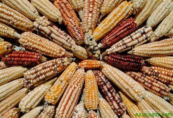 Piden que se permita la producción de maíz ecológico en Cataluña - Ecocosas
