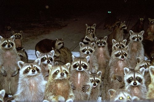 A Gaze of Raccoons by David Quinana via Jerry Genesio. #Raccoons #David_Quinana #Jerry_Genasio