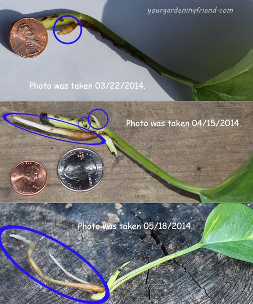 How to Propagate Philodendrons | yourgardeningfriend.com ...