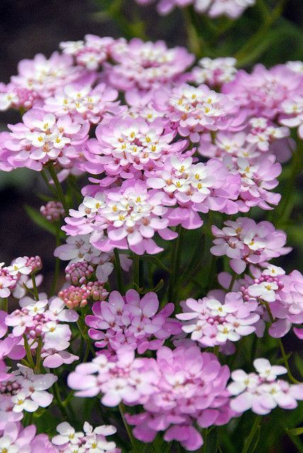 Candytuft 'Apple Blossom'-Iberis Umbelleta (annual)-low growing often seen in rock gardens. Can also be grown in borders or containers. Drought tolerant  works wonderfully in stone wall crevices, as an edging or a ground cover. Full sun, though it will adapt to partial shade. An average soil is fine, as long as it's well drained. Wet feet will rot the plants or cause disease.