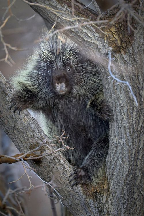 "Porcupine. While going through survival training before I went to Viet Nam I had an ""encounter"" with one of these fellows. It was an interesting recovery for me. :-)"