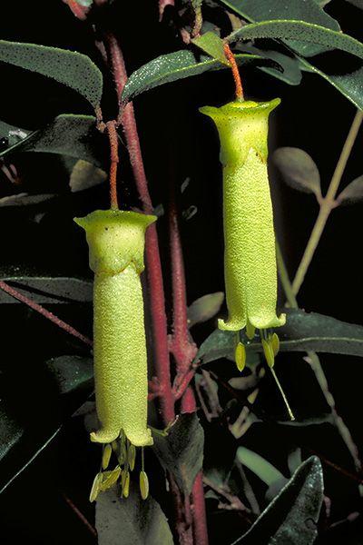 Correa baeuerlenii - native to Eastern Australia