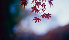 """""""Il cielo ancora buio, la luce lontana che si intravede tra le foglie rosse dell'acero""""..."""