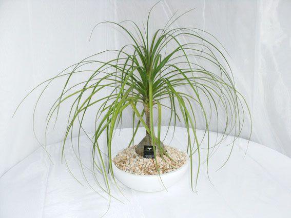 Pata de elefante (Beaucarnea). Aunque es una planta fuerte y se da muy bien en interiores, es bueno colocarla en algún lugar donde reciba buena luz del sol aunque sea de forma indirecta.