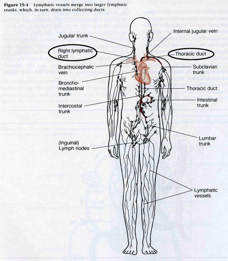 Lymphatic System Lymph Nodes Diagram ANATOMY Pinterest