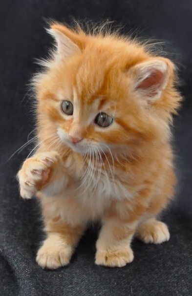Such a cutie!  Ginger kitty cat.