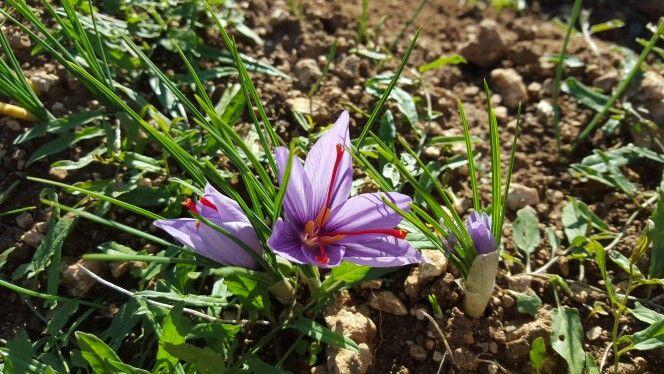 The little saffron flower. the red gold of Abruzzo Il piccolo fiore di zafferano, il crocus sativus  #Abruzzo #travel #italy #zafferano #saffron #abruzzosegreto