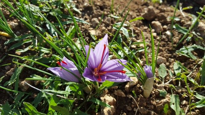 The little saffron flower. the red gold of Abruzzo Il piccolo fiore di zafferano, il crocus sativus  #Abruzzo #travel #italy #zafferano #saffron #abruzzosegreto