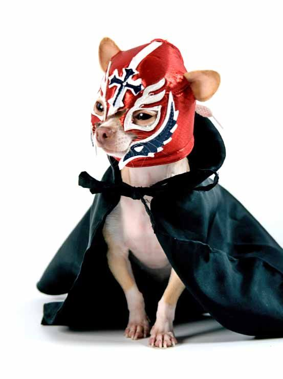 Chihuahua wrestler...of course