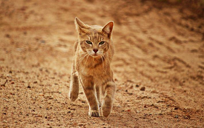 Hämta bilder Arabian Mau, huskatt, 4K, röd katt, husdjur, söta djur, korthåriga rasen