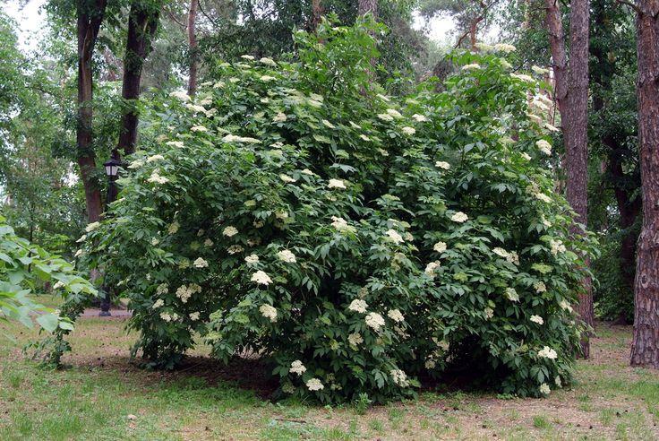 The Elderberry - Sambucus nigra, are beautiful berry-producing shrubs and trees…