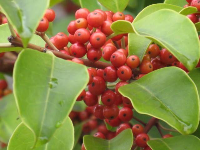 11月8日の誕生日の木「クロガネモチ(黒鉄黐)」です。  モチノキ科モチノキ属の常緑高木。本州関東以西、四国、九州、沖縄、および朝鮮半島、台湾、中国、インドシナの暖帯から亜熱帯に分布します。 「クロガネモチ」の名前の由来は、葉の柄と若い枝が黒紫色を帯びるので「黒鉄(くろがね)色」から名づけられました。また「モチ」は、樹皮からモチノキと同様に「鳥黐(とりもち:木の枝に塗りつけて小型の野鳥を採る)」が採れることからです。名前に「カネモチ」という言葉が入っていることから縁起がよいとされ庭木によく利用されます。