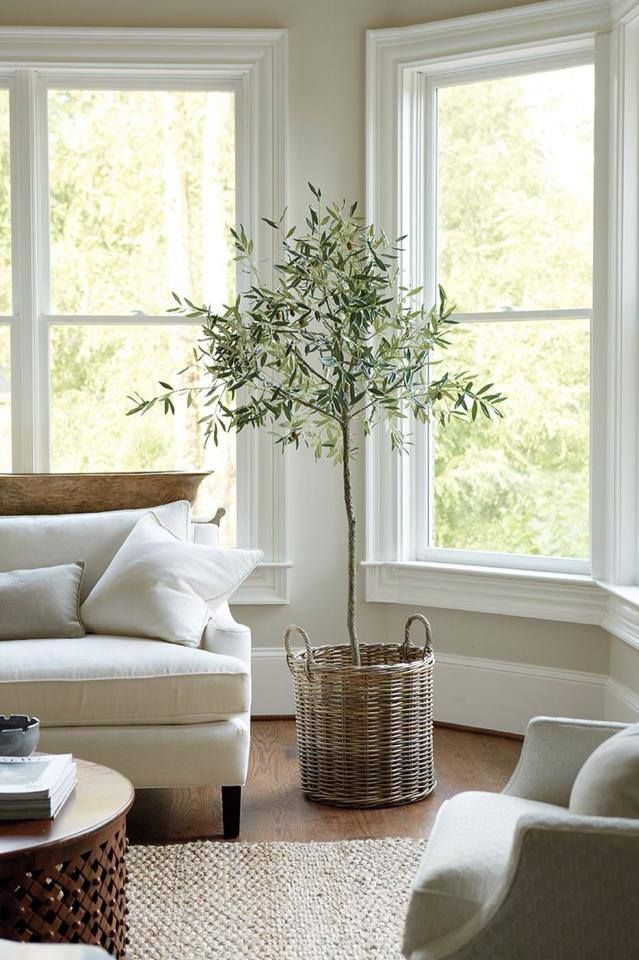 Olive tree in the livingroom, natural light undisturbed by blinds