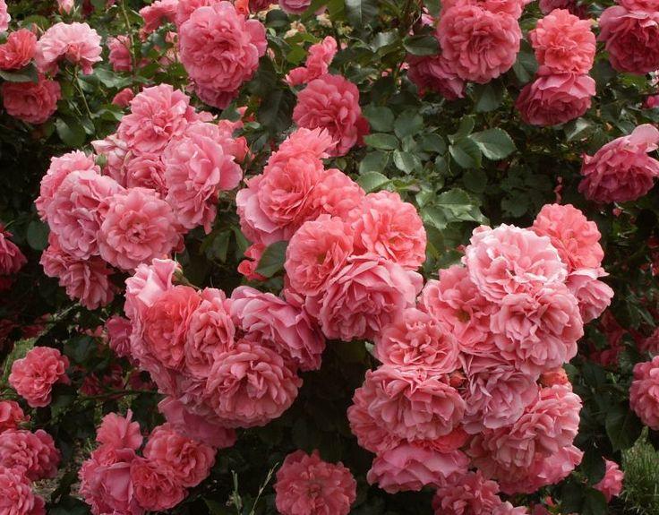 5516 best images about roses on pinterest rose varieties. Black Bedroom Furniture Sets. Home Design Ideas