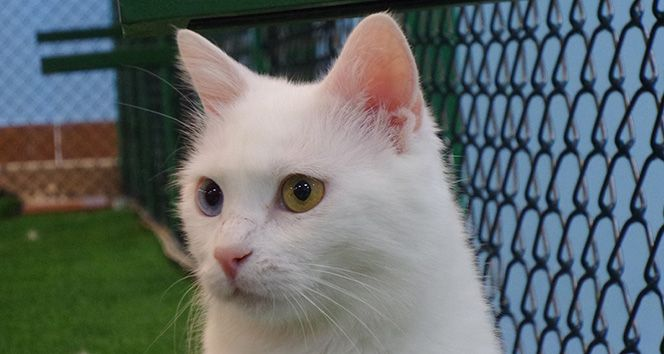 """Van kedilerinde doğurganlık artırılıyor Sitemize """"Van kedilerinde doğurganlık artırılıyor"""" konusu eklenmiştir. Detaylar için ziyaret ediniz. https://8haberleri.com/van-kedilerinde-dogurganlik-artiriliyor/"""
