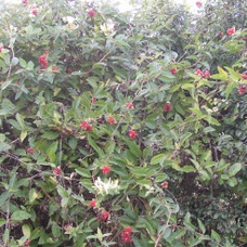 Hedgerow (native)