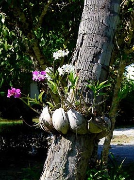 White Dendrobium Orchid on a tree