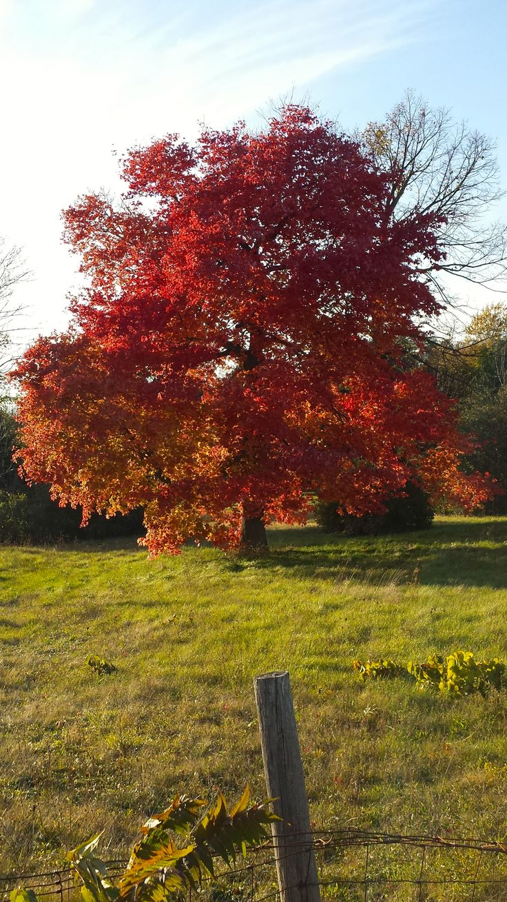 The Maple trees are ablaze