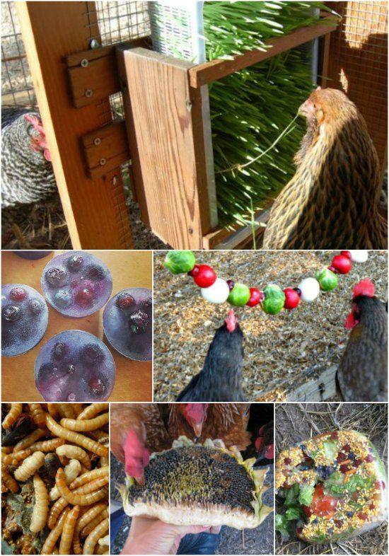 Raising chickens is often done as a way to have fresh eggs for cooking. A great way to ensure you have a good supply is to make healthy treats for chickens.