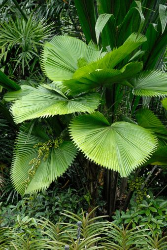 Ruffled fan palm (Licuala grandis)