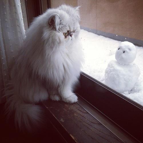 #cat #snow #persian
