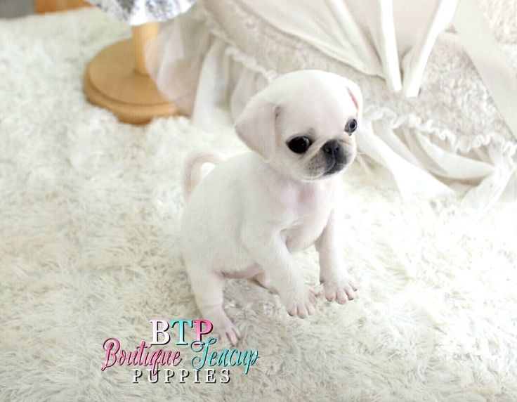 Probably one of the cutest, unique white pugs I have ever seen. She is so sassy and so cute. Just look at that lil nose rope already and those big expressive eyes. This baby is amazing. Gorgeous white pug mini size. She is so so rare. Call today to make t