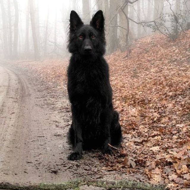 Tall Black Dog With Pointed Ears