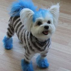 -Grooming by Zoom Groom- If you're unsure about using dog hair dye take a look at what kinds of temporary dyes are available and test on a small section beforehand.