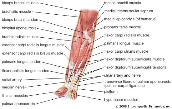Muscles fo the forearm — Anatomy references for artists