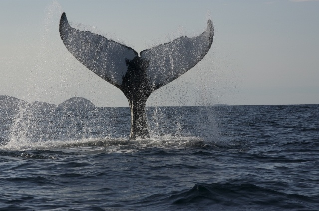 Pods of whales visit us in the summer, their breaching backs and tails easily spotted from the windows of the Inn.