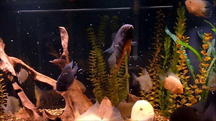 Feeding Severum & Silver Dollars Bloodworms. 180 Gallon Aquarium.