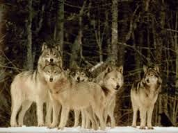 Wolves in packs