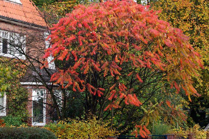 Essigbaum mit Herbstfärbung