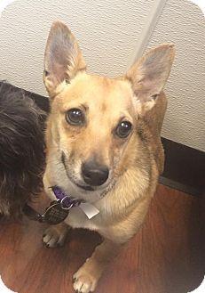 Oak Ridge, NJ - Corgi/Pomeranian Mix. Meet Ursa- LOVES DOGS! a Dog for Adoption.