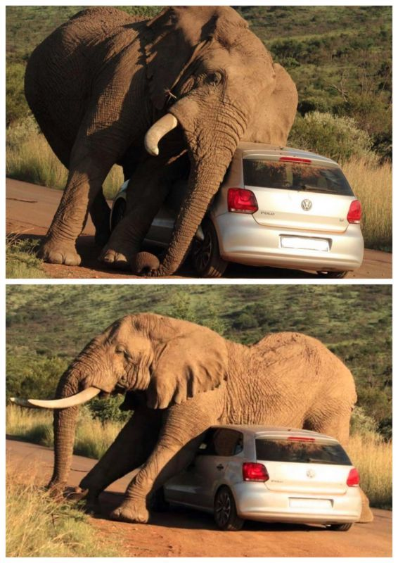 OMG! Elephant crushes tourists car! Click to watch the video! #spon #wild
