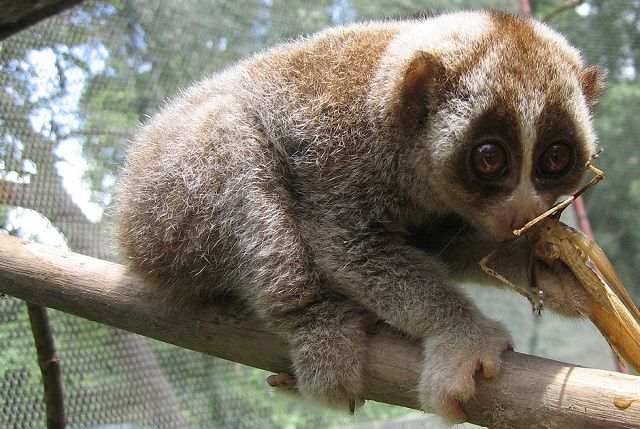 The slow loris is one of the few venomous mammals on earth, and the only venomous primate. It has one of the oddest venom-creation methods in the world. And it kills you much the same way your cat would (if he could).