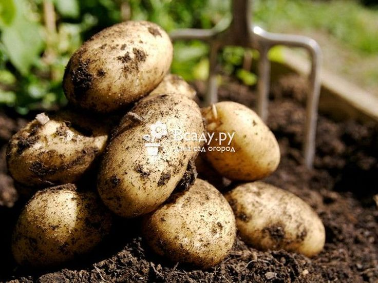 Уборка картофеля сроки сбора урожая корнеплодов. Когда собирать урожай картошки: признаки вызревания, проверка спелости. Хранение урожая картофеля