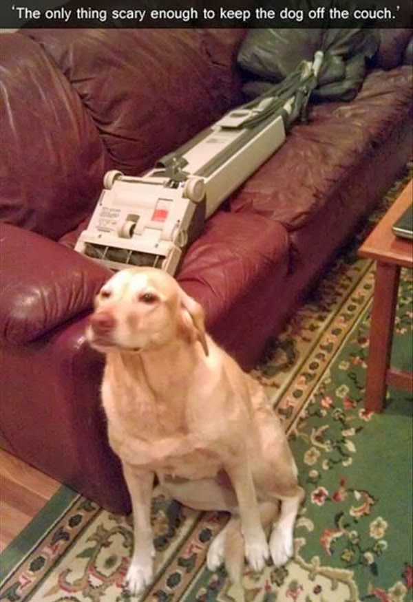 """""""The only thing scary enough to keep the dog off the couch!"""" ~ Dog Shaming shame - Labrador definitely my girl!"""