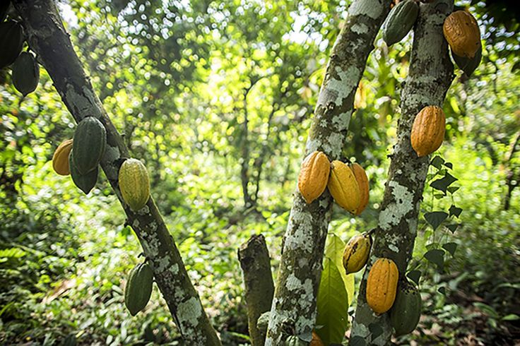 The main harvest season for cocoa is from October through December. When the…