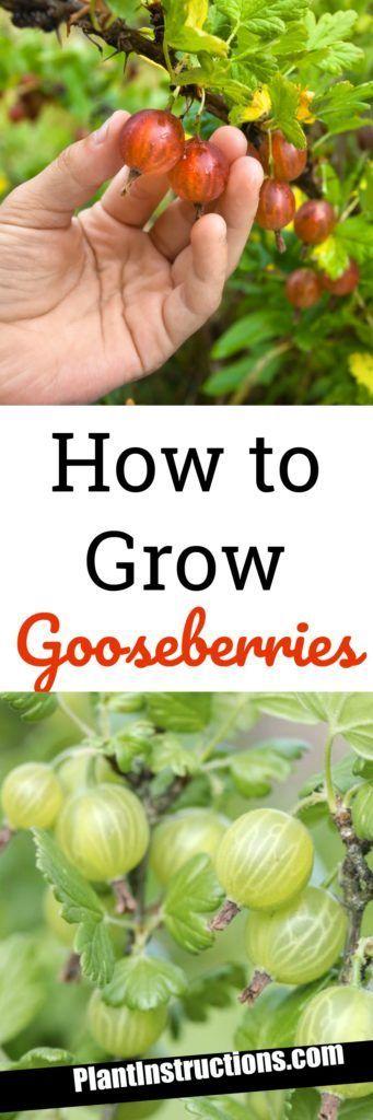 How to Grow Gooseberries
