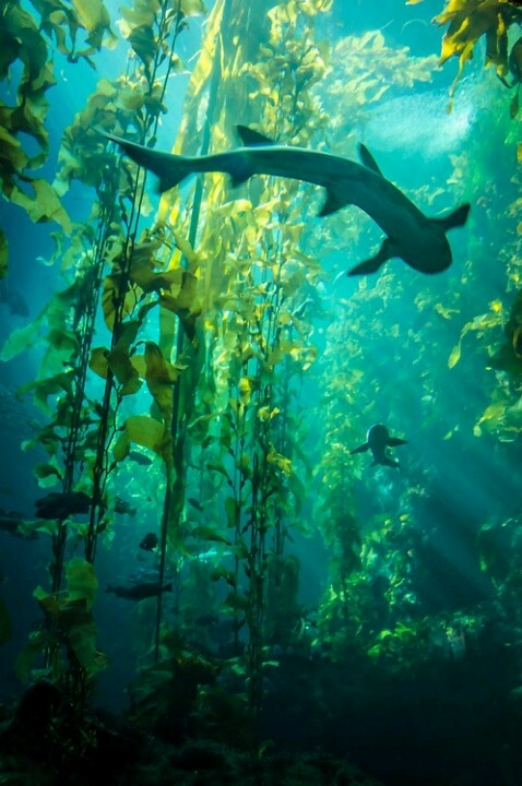 I've been snorkelling in a Kelp bed in Catalina that looked just like this!