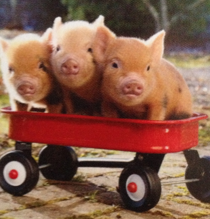 Pigs in a wagon