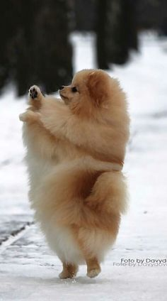Pomeranian Poofball Crate Training Puppies Pinterest