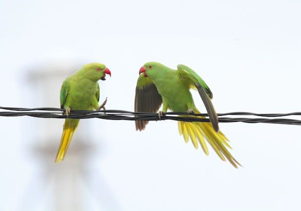 Psittacula krameri manillensis/Indian Rose-necked Parakeet/ワカケホンセイインコ/invasice species