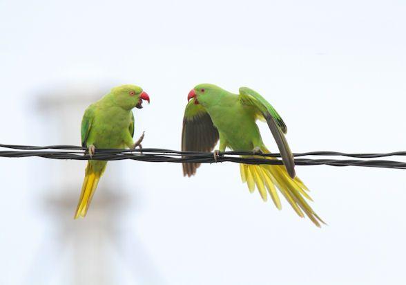Psittacula krameri manillensis/Indian Rose-necked Parakeet/ワカケホンセイインコ/invasice species